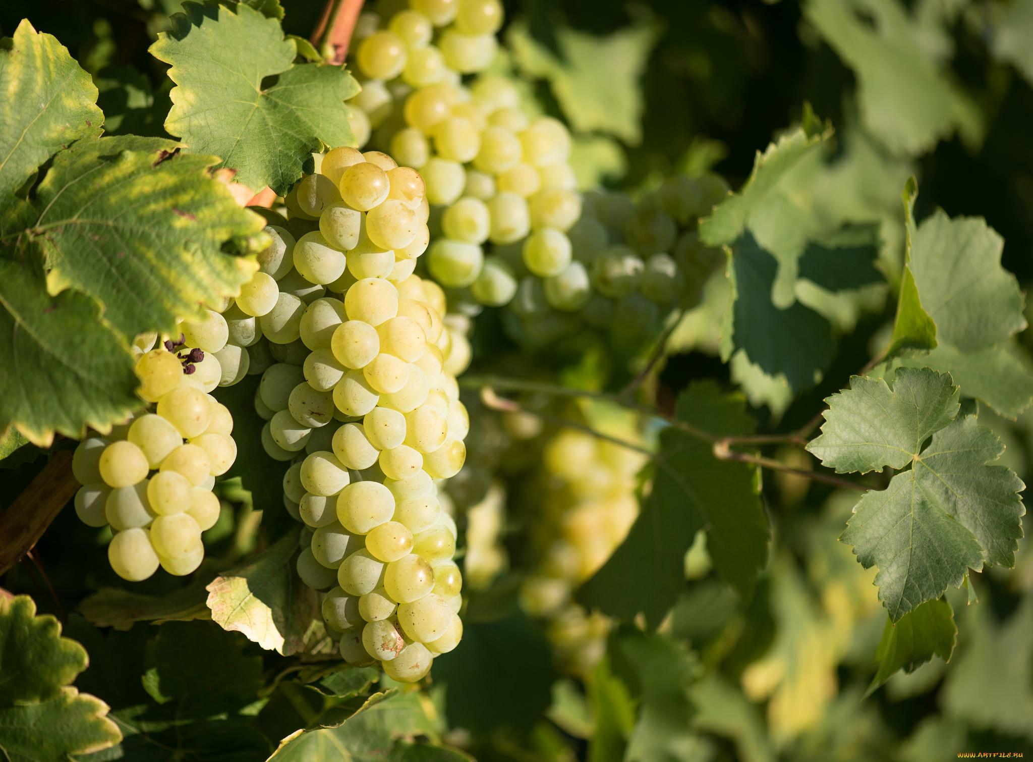 красивые картинки виноградной лозы почему